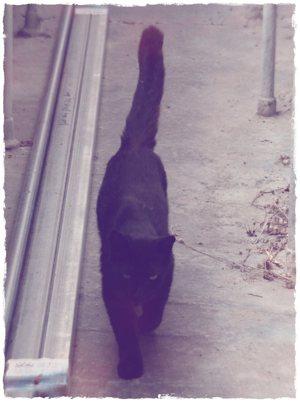 Pet sitting Black Cat